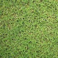 广东苗场专业生产大量供应老鹰草高尔夫球场专用草量大从优