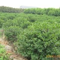 供应园林绿化苗木含笑球形
