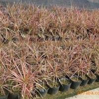 供应园林绿化苗木七彩铁常用袋苗彩叶植物