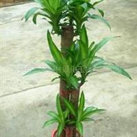 供应室内观叶植物步步高/巴西铁/三芽