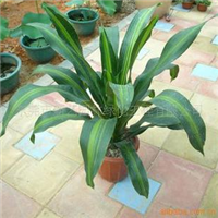 供应花卉盆栽室内观叶植物金心巴西铁绿植盆栽