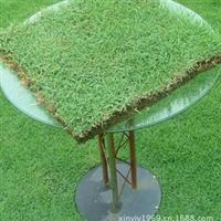 东莞草场专业生产批发供应绿化草坪台湾草量大从优