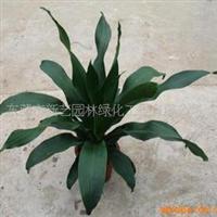 东莞苗场供应企事业单位用租摆植物也门铁绿色盆栽