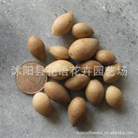 大量供应银杏种子果树种子绿化树木种子林木树种