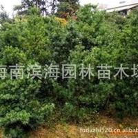 长期批量供应罗汉松种苗