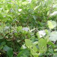 供应纯叶臭黄荆(红树林植物)