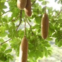 销售吊瓜树(吊灯树)