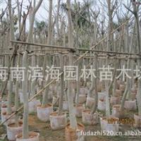 批发供应吊瓜木(5-17公分胸径)