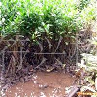 供应无瓣海桑(耐盐碱湿地植物)