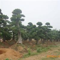 大量供应各规格精品造型榆树古桩