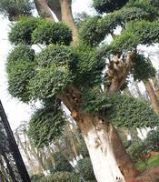 大量供应各规格精品造型榆树古桩春韵苗圃精品苗圃
