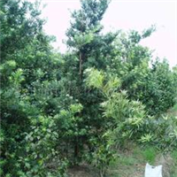 大量供应5-20公分黄桷树、小叶榕、香樟、茶花、天竺葵、金弹子