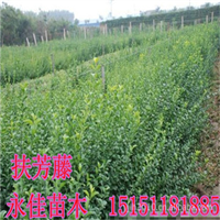 大量供应扶芳藤,卫矛,大叶黄杨等绿化苗木