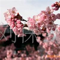 供应樱花各种绿化苗木观赏性樱花(图)