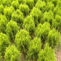 绿化苗木洒金柏洒金柏小苗洒金柏球庭院植物