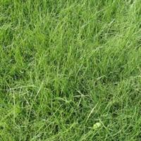 批发优质园林景观绿化草坪混播草皮四季长绿耐寒耐旱品质好
