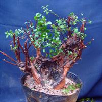 盆景室内盆栽绿色植物观叶闻香盆景材料野生赤楠精品树桩
