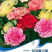 花卉种子切花康乃馨种子石竹花麝香石竹阳台盆栽混色30粒/包
