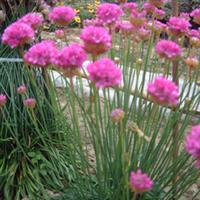 花卉种子海石竹种子宿根花卉种子蓝雪科海石竹盆栽