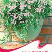 花卉种子垂吊满天星种子缕丝花迷你花霞草丝石竹30粒/包