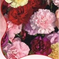 我要发芽花卉种子康乃馨种子石竹花麝香石竹阳台盆栽40粒/包
