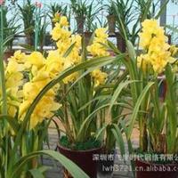 花卉种子各色品种剑兰菖兰、剑兰、扁竹莲、十样锦种子