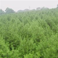 批发优质白皮松种子松树种子白皮松种子提供种植技术0.2元/粒