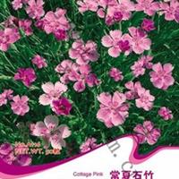 花卉种子常夏石竹种子羽裂石竹地被石竹花香怡人50粒/包