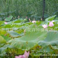 水体绿化植物荷花苗芦苇千屈菜鸢尾