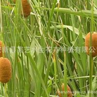 批发各种水生植物苗//专业种植各种水生植物