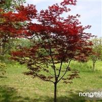 红枫直销  江苏沭阳盛大苗木场供应红枫  货源充足