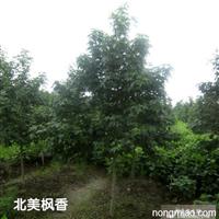 枫香直销 江苏沭阳盛大苗木场供应枫香 货源充足