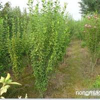 木槿直销 江苏沭阳盛大苗木场供应木槿 货源充足