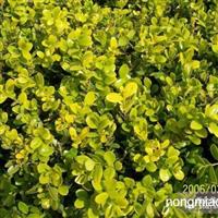 瓜子黄杨直销 江苏沭阳盛大苗木场供应瓜子黄杨  货源充足