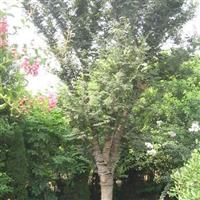 榉树直销 江苏沭阳盛大苗木场供应榉树 货源充足