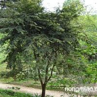 红豆杉直销  江苏沭阳盛大苗木场供应红豆杉  货源充足