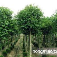 江苏沭阳盛大苗木场供应刺槐  货源充足