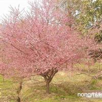 江苏沭阳盛大苗木场供应垂梅  货源充足