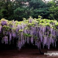 紫藤直销  江苏沭阳盛大苗木场供应紫藤 货源充足