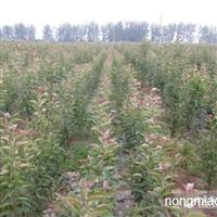 海棠直销 江苏沭阳盛大苗木场供应海棠 货源充足