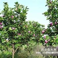 紫玉兰直销 江苏沭阳盛大苗木场供应紫玉兰 货源充足