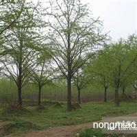 供应银杏 专业供应银杏 可以现场看苗,指树挖树,现场监督起苗