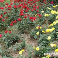 月季花直销 江苏沭阳盛大苗木场供应月季花 货源充足