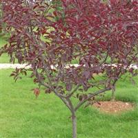 紫叶矮樱直销 江苏沭阳盛大苗木场供应紫叶矮樱 货源充足