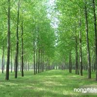 杨树直销 江苏沭阳盛大苗木场供应杨树 货源充足