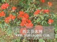 微型月季直销 江苏沭阳盛大苗木场供应微型月季 货源充足