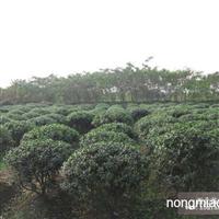 五角枫直销 江苏沭阳盛大苗木场供应五角枫 货源充足