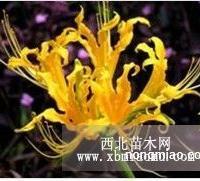 黄花石蒜直销 江苏沭阳盛大苗木场供应黄花石蒜 货源充足