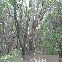 可供多干茶条槭地径5-30公分