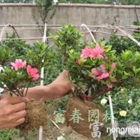 石岩杜鹃,石岩杜鹃苗,别名东洋杜鹃、朱砂杜鹃、春鹃小花种